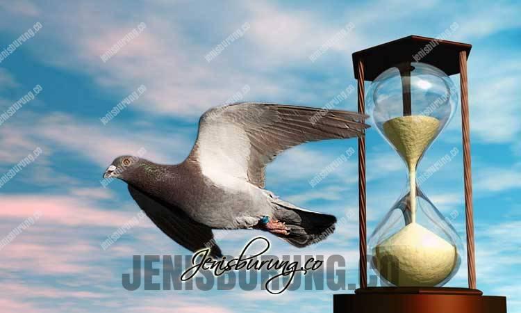 merpati balap, cara menghitung kecepatan merpati, hitung kecepatan burung merpati balap, kecepatan merpati balap, kecepatan merpati pos, memilih merpati balap yang bagus