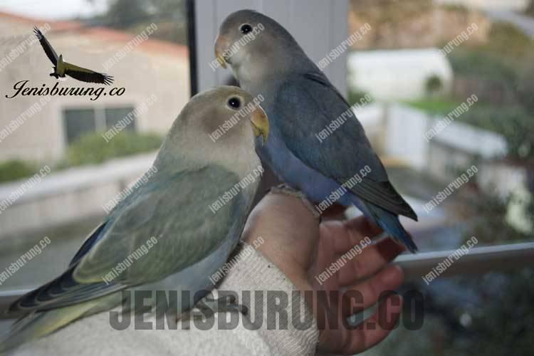 mutasi Blue Turquoise Lovebird - mutasi blue Aqua SF Turquoise Lovebird