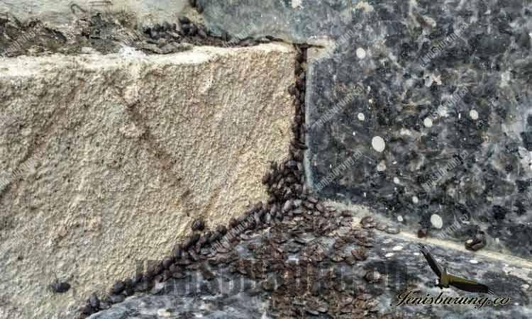 obat burung makan Lembing batu
