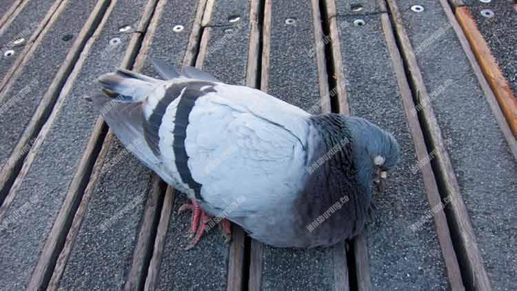 penyakit merpati, penyebab merpati sakit, cara mengobati merpati, cara mengatasi burung merpati, merpati mati