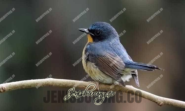 penyebab burung tledekan ngedrop, cara mengatasi tledekan ngedrop, tledekan kalah mental, melatih mental tledekan, suara burung tledekan, tledekan gacor, agar tledekan nyeklek