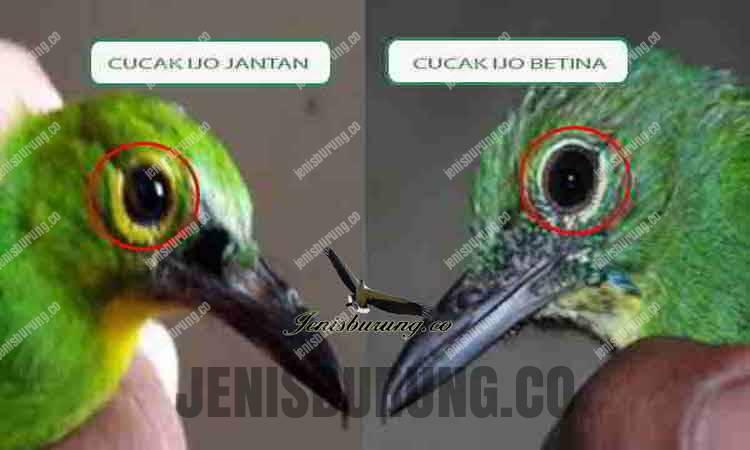 perbedaan mata cucak ijo jantan dan betina