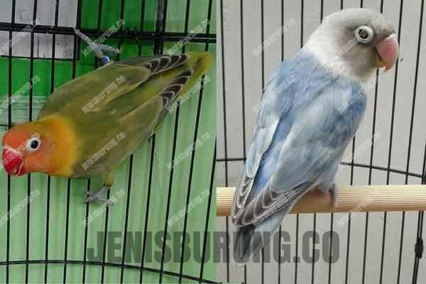 perbedaan lovebird pied, dompied dan clear pied