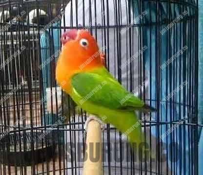 perbedaan lovebird konslet dan lovebird fighter