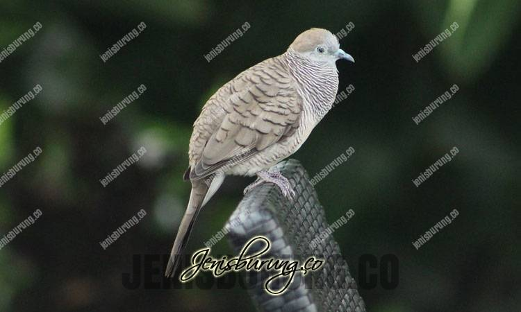 perkutut jawa, zebra dove, geopelia striata, suara burung perkutut, dowload suara perkutut, cara merawat burung perkutut