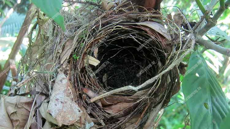sarang burung anis, harga burung anis, suara burung anis, merawat burung anis agar cepat gacor, makanan burung anis terbaik