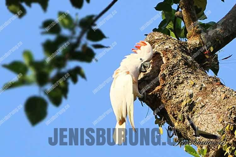 jenis burung kakatua mollucan atau kakatua maluku