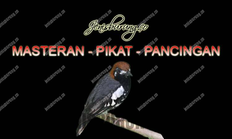 suara anis kembang gacor dan ngeplong, masteran burung anis kembang full isian, suara anis kembang gacor durasi panjang