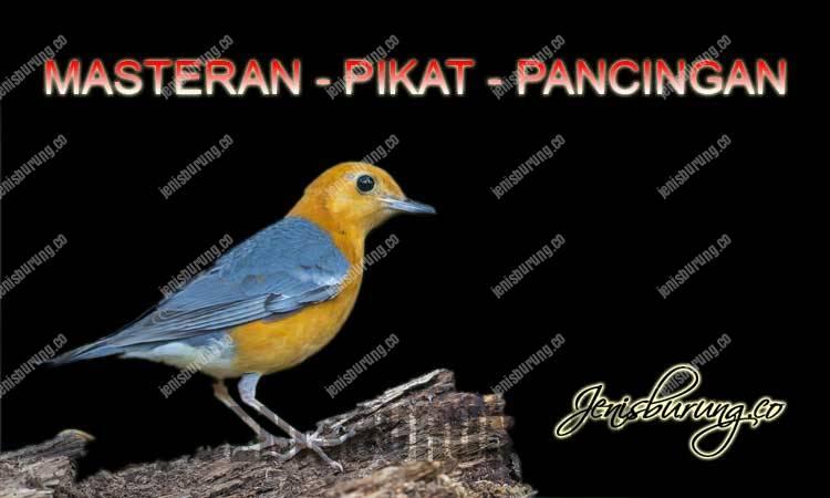 suara anis merah gacor dan ngeplong untuk masteran burung dan pikat burung anis