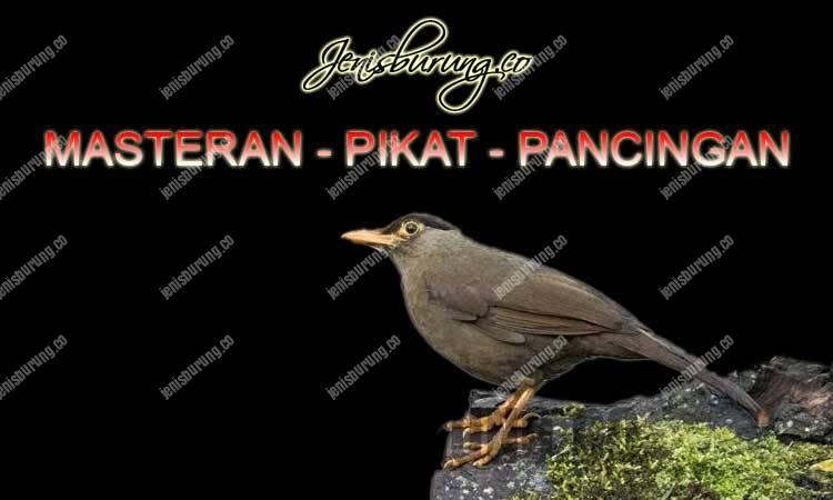 suara anis sulawesi gacor ngeplong full isian, suara anis sulawesi alami hutan, suara anis sulawesi untuk masteran burung anis