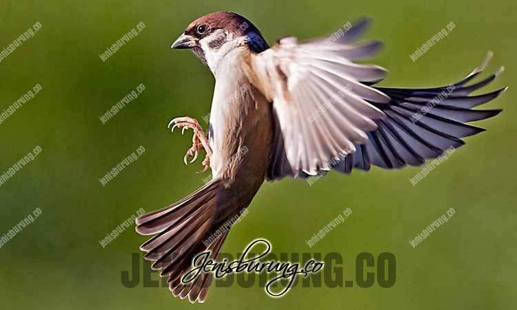 suara burung gereja gacor durasi panjang, crecetan burung gereja durasi panjang, suara burung gerja tarung, suara burung gereja betina