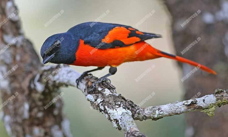 suara burung mantenan, sepah hutan, scarlet minivet, pericrocotus flammeus, harga burung mantenan, mantenan jantan dan betina, suara mantenan gacor durasi panjang