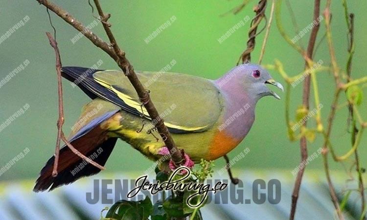 suara burung punai, suara punai gacor, burung punai gacor durasi panjang, suara burung punai untuk pikat, suara punai jernih, green pigeon sound