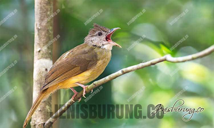 suara cucak jenggot gacor dan ngeplong untuk masteran burung lovebird