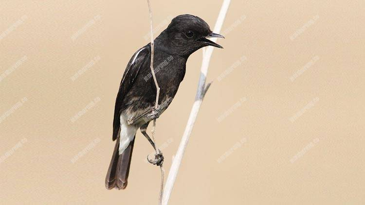 11 Suara Burung Decu Gacor Untuk Masteran Pinhome