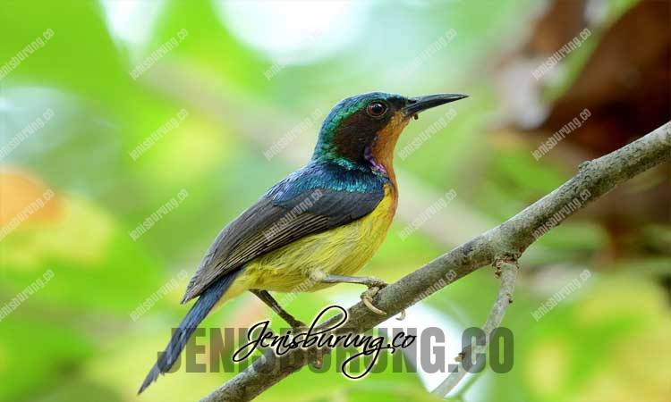 suara kolibri wulung, suara burung kolibri, suara burung-madu belukar, kolibri wulung gacor dan rajin bunyi, suara kolibri wulung gacor