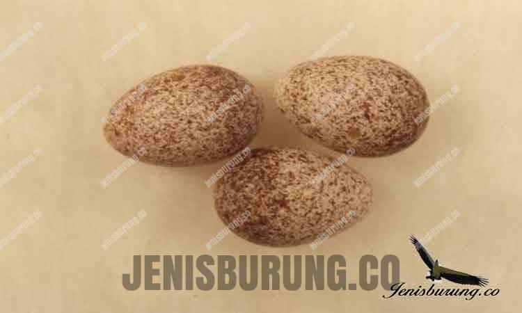 Telur Cica koreng Kecil, Little Grassbird (Megalurus gramineus)