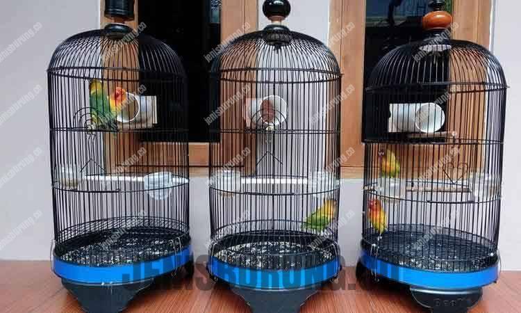 terapi bambu gila, manfaat terapi bambu gila, meningkatkan durasi ngekek lovebird, bambu gila untuk lovebird, menambah durasi ngekek, durasi ngekek lovebird, cara membuat terapi bambu gila