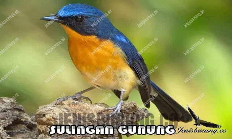 jenis burung tledekan gungung Hill Blue flycatcher cyornis banyumas