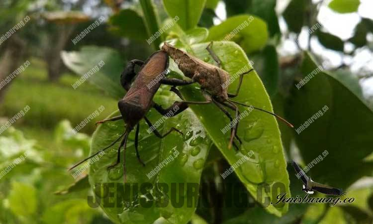 walang sengit serangga berbahaya bagi burung kicau