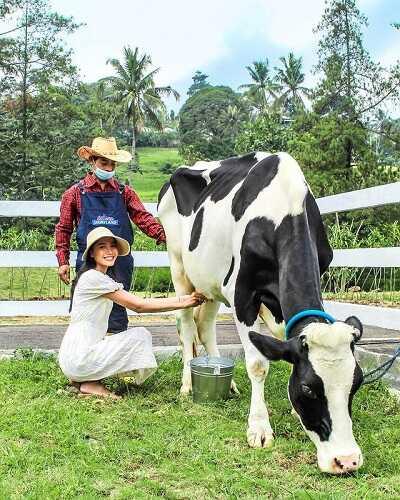 cow milking cimory dairyland puncak bogor