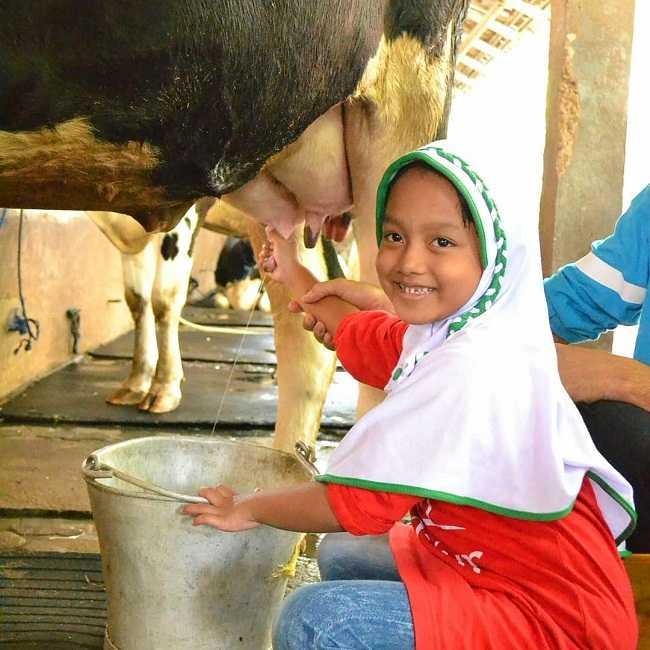 memerah sapi di d kandang amazing farm