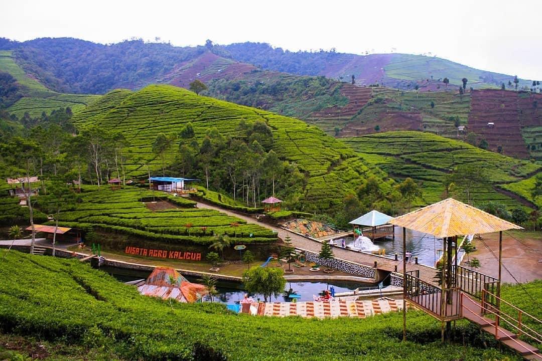 panorama kebun teh kaligua bumiayu