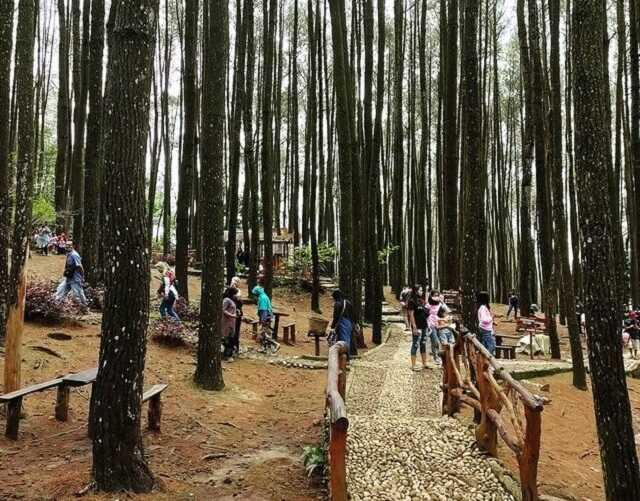 suasana hutan pinus mangunan dlingo bantul