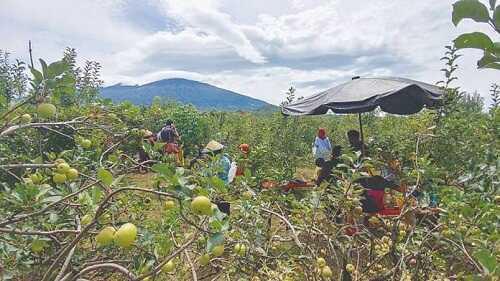 wisata petik apel batu