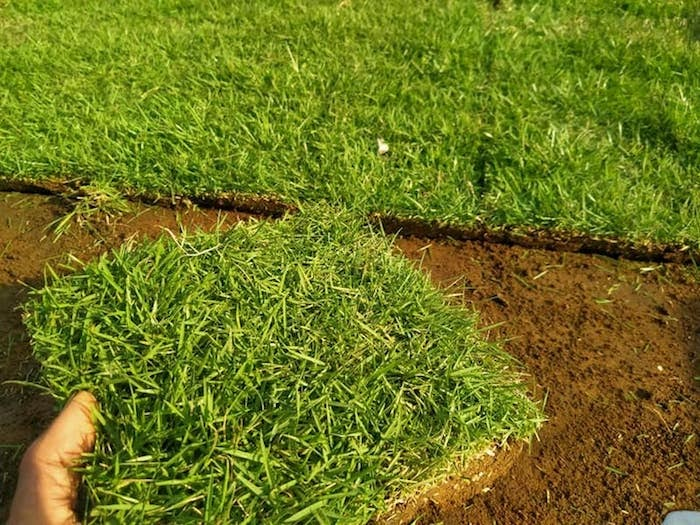 rumput untuk taman indoor