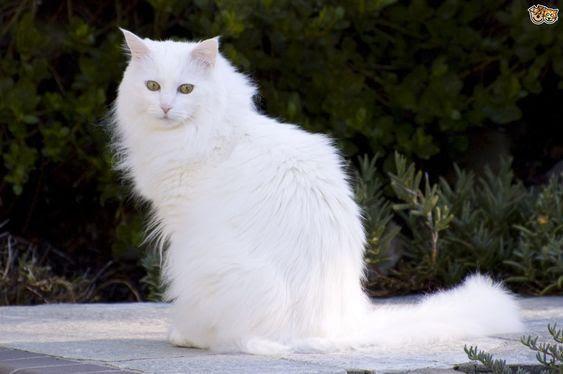 Berbagai Pose Foto Kucing Anggora Lucu Super Menggemaskan