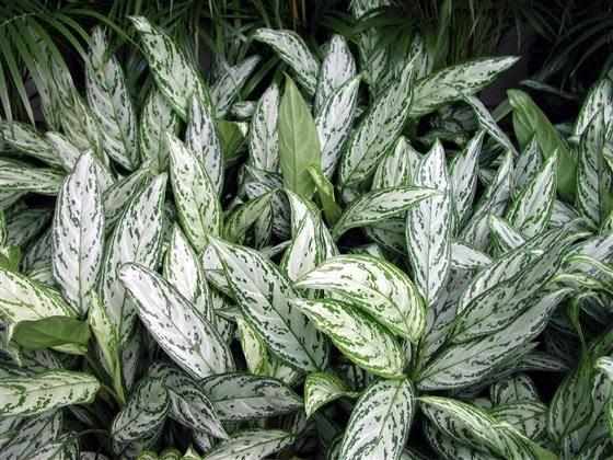 13 Jenis Bunga Aglonema yang Menarik Hati